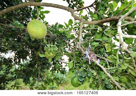 The Pomelo Grafting For Propagation