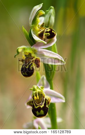Wild Bee Orchid Flowers Stem - Ophrys Apifera