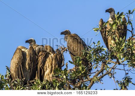Cape vulture in Kruger national park, South Africa ; Specie Gyps coprotheres family of Accipitridae