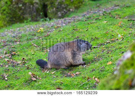 Portrait of sitting groundhog (Marmota monax) in green environment