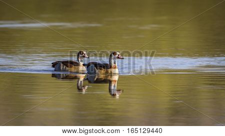 Egyptian goose in Kruger national park, South Africa ; Specie Alopochen aegyptiaca family of Anatidae