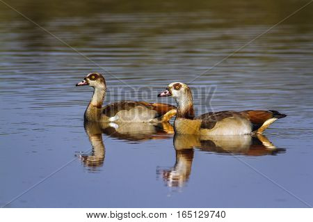 Nile goose in Kruger national park, South Africa ; Specie Alopochen aegyptiaca family of Anatidae