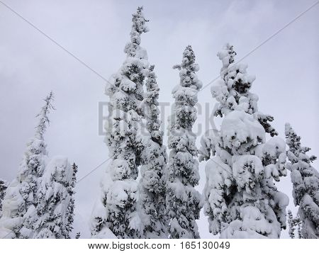 Snowy tree tops on overcast winter day