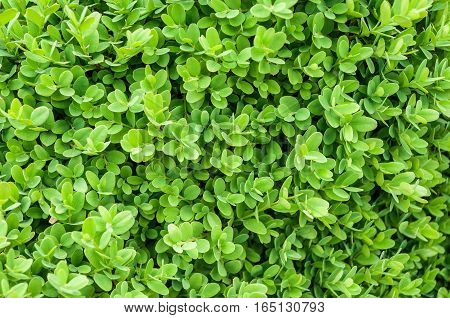 Texture Of Natural Evergreen Leaves Of Boxwood