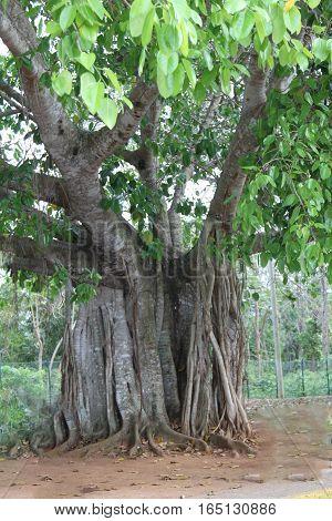 Ficus plant secular evergreen plant near Cuba