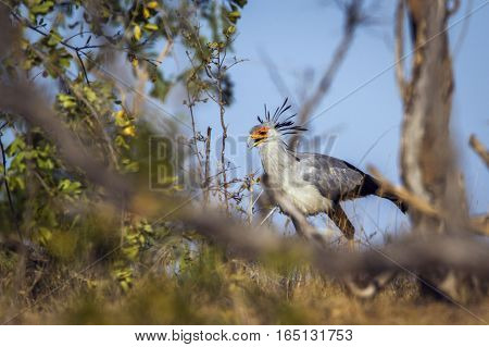 Secretary bird in Kruger national park, South Africa ; Specie Sagittarius serpentarius family of Sagittariidae
