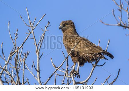 Yellow-billed kite in Kruger national park, South Africa ; Specie Milvus aegyptius family of Accipitridae