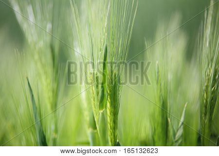 Close up of green wheat. Green sprouts of wheat on spring meadow. Macro of wheat sprouts. Wheat on green blurred backdrop. Colorful spring background.