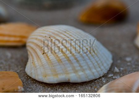 White Shell with Grains of Sand Low Angle among other shells