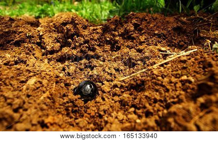 Scarab bug come out from the fresh earth