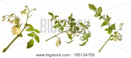 Unripe Tomatoes On A Branch Isolated On White Background