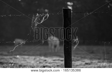 barb wire, cattle stays behind the iron wires