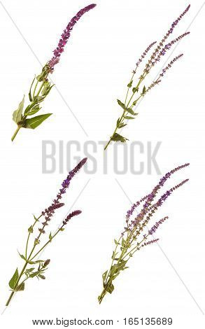 Purple Sage Flower Isolated On White Background