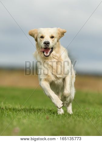 White Golden Retriever Dog