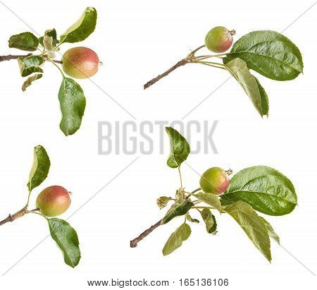 Apple-tree Branch With Unripe Green Apples. Isolated On White Background. Set