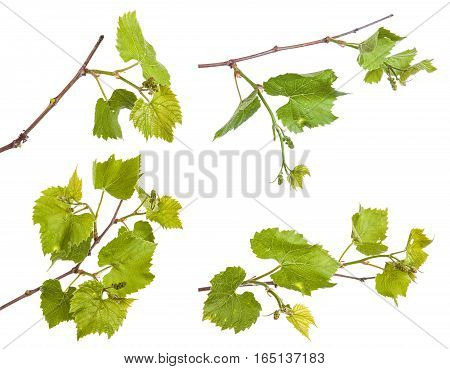 Young Vine Grapes. Isolated On White Background. Set