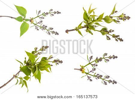 Branch With Unblown Lilac Isolated On White Background.set