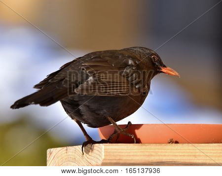 blackbird on feeder during winter birdwatching Czech republic