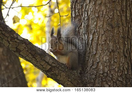 squirrel in autumn sitting on the branch of a tree and eating nuts
