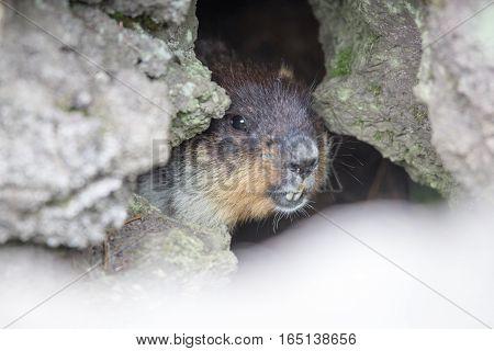 Marmot Watching His Territory