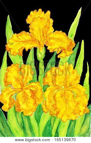 Three yellow irises, hand painted picture, watercolours