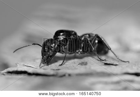 Detail of a black ant on a wooden board
