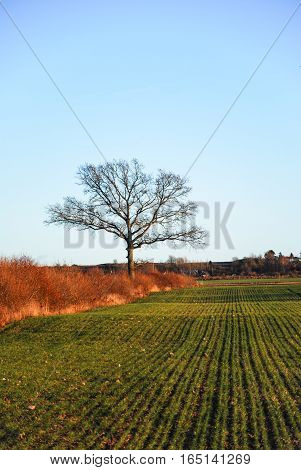 Landscape with green cornfiled and a lone oak tree