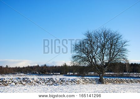 Big bare tree by a stone wall in a winter landscape at the swedish island Oland