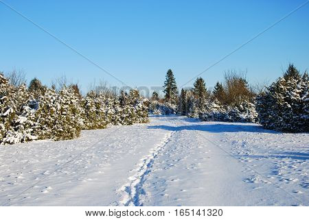 Sunny winter landscape with snowy junipers and footprints on a footpath
