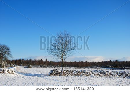Single tree by a stone wall in a wintry landscape at the Swedish island Oland