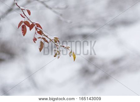 Small branch of rose-canina (dog-rose) in first winter days