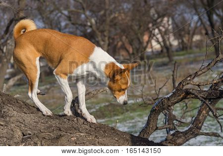 Basenji dog come down from low level tree branch on its territory