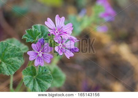 Family of common mallow (Malva sylvestris) flowers in spring garden