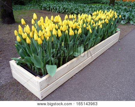 Bunch of bright yellow Tulips on a white wooden planter