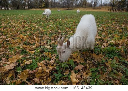A Herd Of Goats Zaanen Breed Grazing In The Meadow Dotted With Yellow Autumn Leaves.