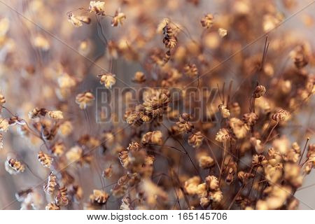 A macro photo of dry Quaking-grass (Briza media)