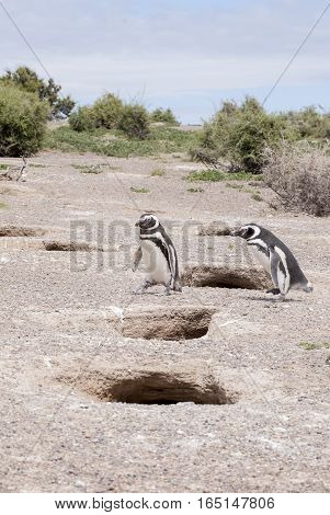 Magellanic Penguin Of Punta Tombo Patagonia