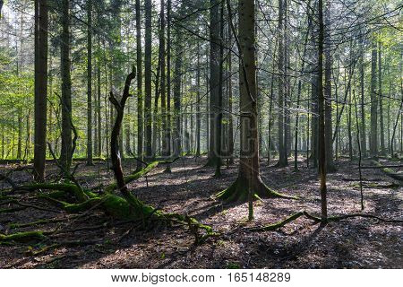 Sunbeam entering rich deciduous stand in misty noon with broken oak tree decline just rain after, Bialowieza Forest, Poland, Europe