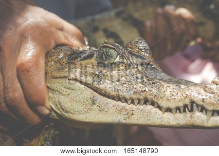 Eyes Of Young Black Caiman Captured By A Native Of The Jungle