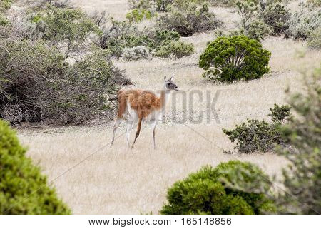 Guanaco in the national park of Punta Tombo Argentina. Photo taken on: November 14th 2013