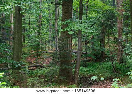 Natural mixed stand of Bieszczady Mountain region in summer rain after with two old sycamore tree in foreground, Bieszczady Region, Poland, Europe