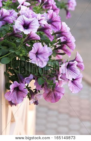 blooming pink petunia hanging on the fence