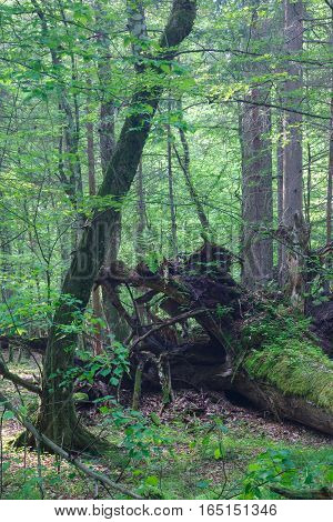 Broken tree roots partly declined against fresh green deciduous stand rain after, Bialowieza Forest, Poland, Europe