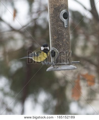 Great tit (Parus major) with sunflower seed in beak on a birdfeeder, looking at the camera. Taken in Uppsala, Sweden. With space for text.