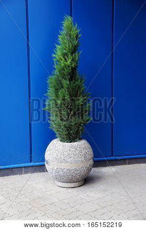 Green thuja in a round concrete pot
