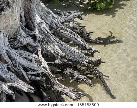 sea grape trees and driftwood on the sandy shore