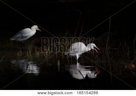 Two white egypt egrets portrait