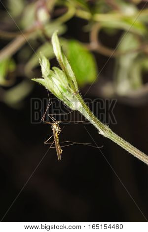 The mosquito dolgonogi or karamora (lat. Tipulidae) on the shoot of clematis (lat. Clematis)