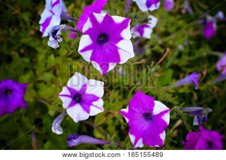 Petunia. Stimoryne.  Nyctaginiflora. Home, Garden, Kitchen . Striped Flower
