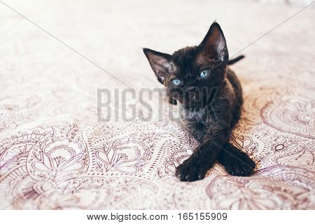 Cute Devon Rex kitten with blue eyes. Kitten is comfortably settled to sleep or to play. Cute cozy background with place for text. Morning bedtime at home. Soft focus. Black cat
